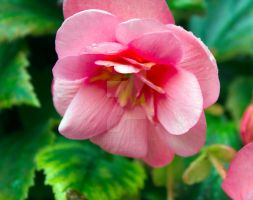 Begonia_9292 by creative1978