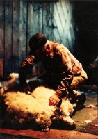 Shearing Sheep 1984 by fotopoet