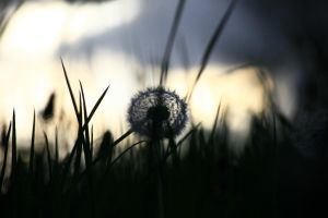 Dandelion by RodneyHomeMade