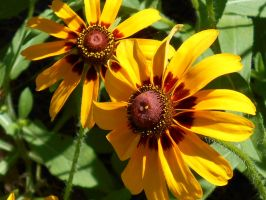 Little Black-Eyed Susans by Calypso1977