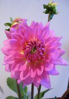 Dahlia by We-Are-Under-1-Dome