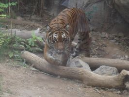 Malayan Tiger by Deede25