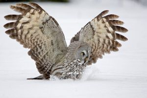 Great Grey Owl Attack by Mateuszkowalski
