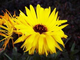 Yellow Flower 03 Stock by SDRandTH-Stock