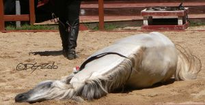 Andalusian Stallion - 36 by ElaineSeleneStock
