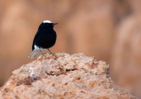 White-tailed Wheatear by rat-or-rat