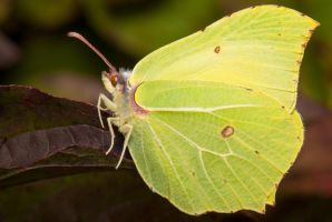 Brimstone by gmwebs