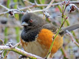Closeup Of Towhee In Bush by wolfwings1