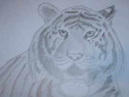 Tiger by Sheena66