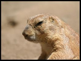 prairie dog by klkessler714