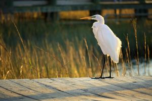 Egret at sunset by ahley
