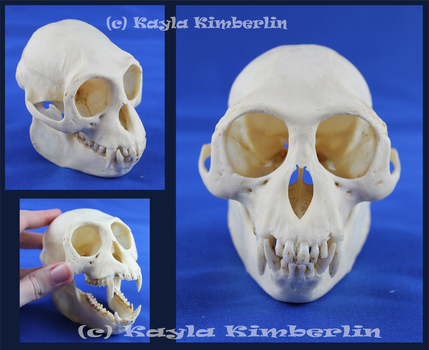 Langur Monkey Skull by BluesCuriosities