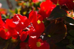Red Flowers by bowtiephotography