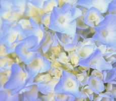 hydrangea up close by finalrice