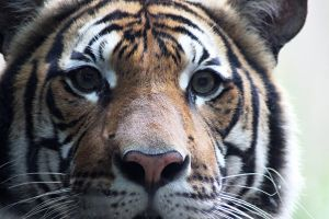 Tiger Closeup by winterface