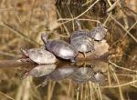Triangle of Turtles by EWilloughby