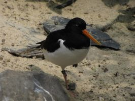 Eurasian Oystercatcher 01 by animalphotos