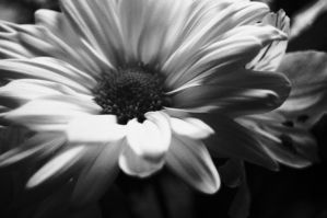 Black and White Daisy by abcolleenz79