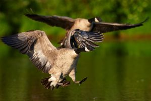 Canada Goose - landing gear by JestePhotography