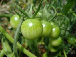 Baby Tomatoes by richardxthripp