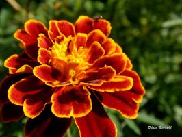 Tagetes 040 by Halla51