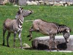 Zebra Stock 3 by HOTNStock