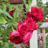 Red Climber rose 1 by Kattvinge