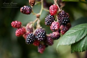 Blackberry by MetallerLucy
