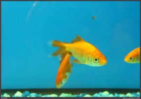 Fish Stock 0038 by phantompanther-stock