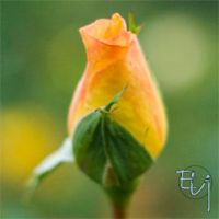 Rose Bud by Dreamupartdesign
