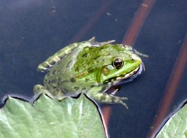 Frog by lordfreedom