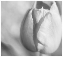 Tulip - Monochrome by Art-ography