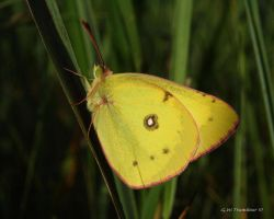 Clouded Sulphur Butterfly by natureguy
