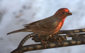 House Finch-Male - 02.26.14 by BirdyLee