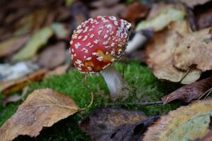 DSC 0046 Fly Agaric by wintersmagicstock