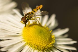 Syrphid Fly Feeding by PLutonius