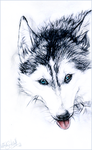 KP.:Siberian Husky:. by WhiteSpiritWolf