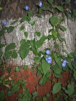 Morning Glory Creeper by AbstractWater