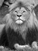 Lion by PlayDead89