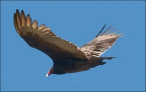 Turkey Vulture by my-cousine-vinny