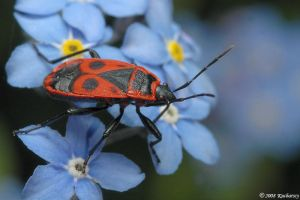 Pyrrhocoris apterus II by Dark-Raptor