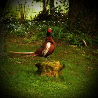 Pheasant Song by Coigach
