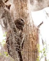 Barred Owl Chestnut Park Florida by chalutplease