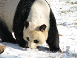 Mei Xiang sniffing by DrDizzyMBHellfire