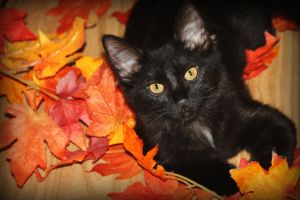 Autumn Kitty by casshimeeze
