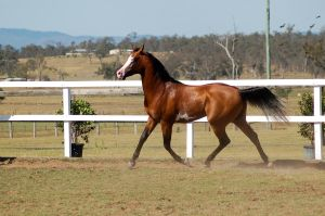GE arab trot tail lowered white face by Chunga-Stock