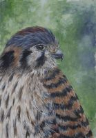 Kestrel portrait by acrylicwildlife