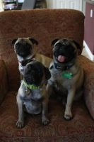 Family of Pugs by icantthinkofaname-09