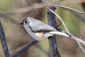 Tufted Titmouse 11 by Gerryanimator