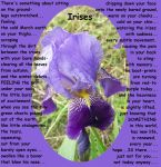 Irises... by melly4260